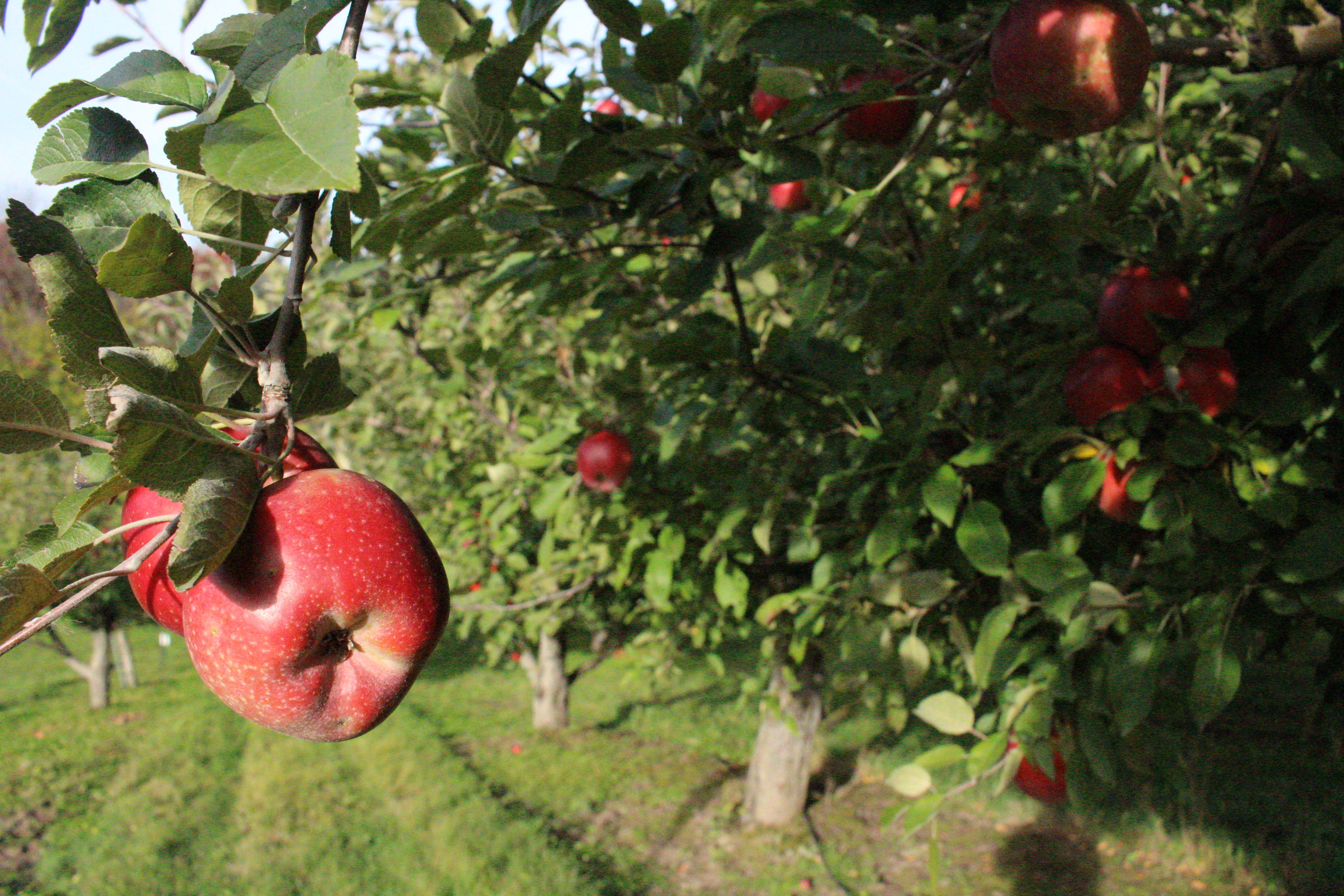 Apple orchards perfect place to enjoy cooling autumn weather